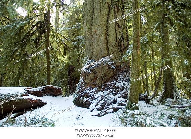 Snowy pathway in old growth forest in Cathedral Grove in MacMillan Provincial Park, near Port Alberni, Vancouver Island, BC