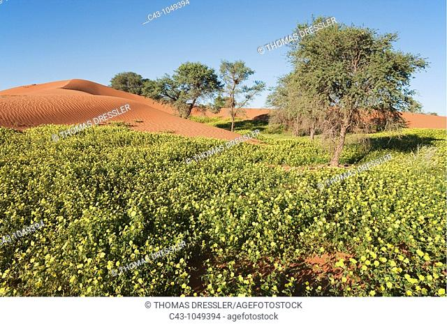 Namibia - Carpets of Devil's Thorn Tribulus zeyheri among sand dunes and camelthorn trees Acacia erioloba during the rainy season March in the Namib Desert...