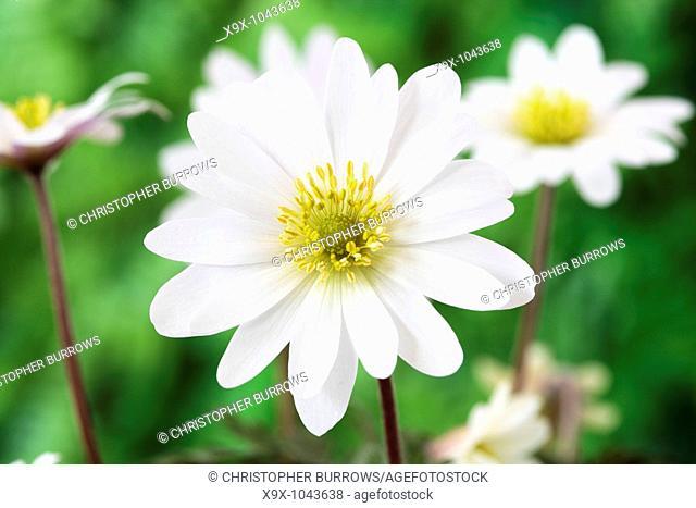 Anemone blanda 'White Splendour' AGM Windflower