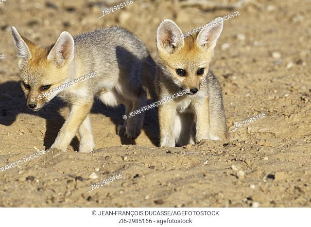 Cape fox (Vulpes chama), two cubs getting out of den, evening light, Kgalagadi Transfrontier Park, Northern Cape, South Africa, Africa