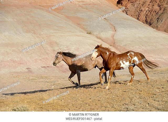 USA, Wyoming, Big Horn Mountains, two running wild horses