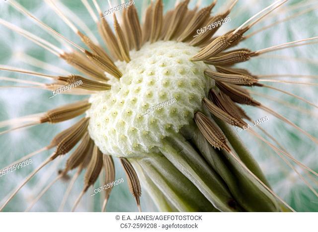 Dandelion Taxaxacum officinale seed head