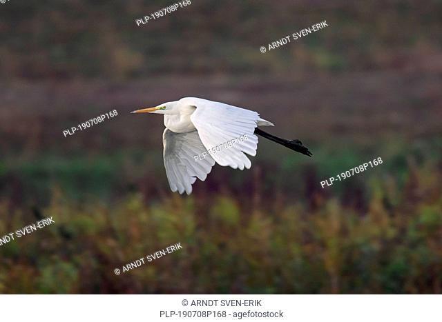 Great egret / common egret / great white egret (Ardea alba / Egretta alba) flying over marshland