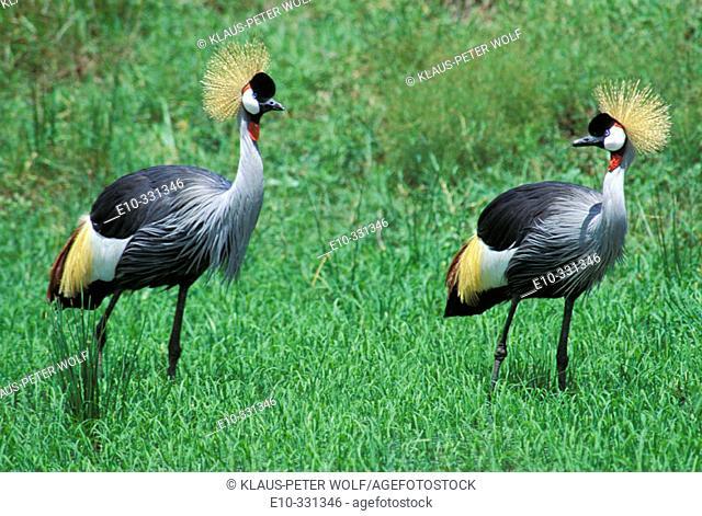 Crowned Cranes (Balaerica regulorum). Kenya