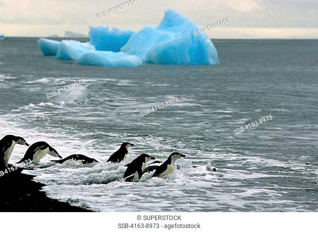 ANTARCTICA, SOUTH SHETLAND IS DECEPTION ISLAND, CHINSTRAP PENGUINS GOING INTO SEA