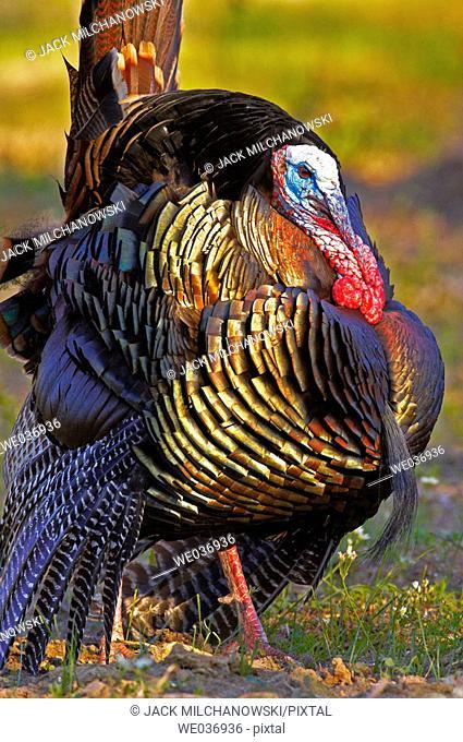 Turkey (Meleagris gallopavo)