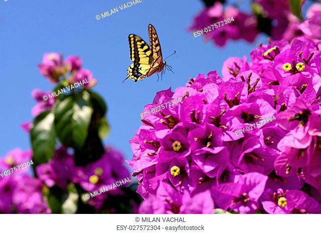 Beautiful magenta bougainvillea