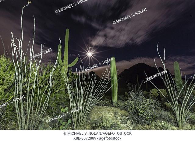 Giant saguaro cactus, Carnegiea gigantea, under full moon at Gates Pass in the Tucson Mountains, Tucson, Arizona, U. S. A