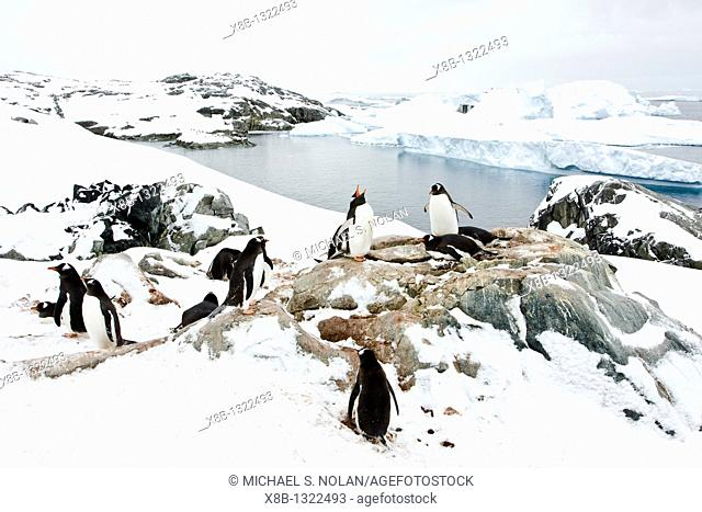 Adult gentoo penguins Pygoscelis papua nesting on Petermann Island, Antarctica  There are an estimated 80,000 breeding gentoo penguin pairs in the Antarctic...