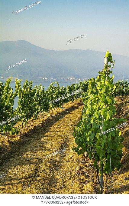 Vineyard. Vitivinicola del Ribeiro, D.O. de Ribeiro, provincia de Orense, Galicia, Spain