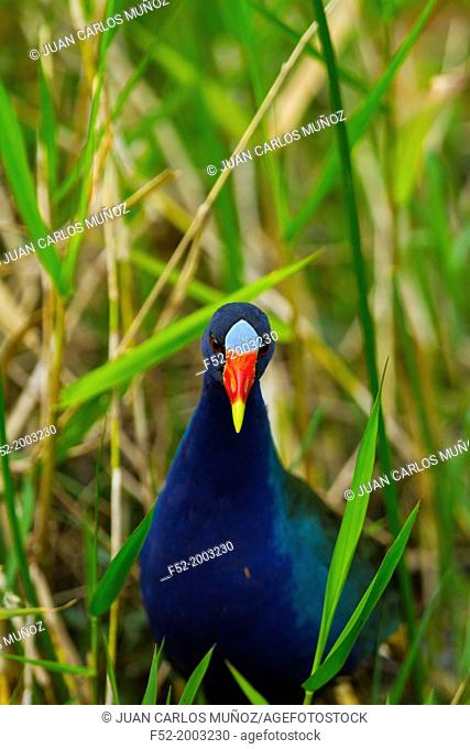 American Purple Gallinule (Porphyrio martinicus), Everglades National Park, FLORIDA, USA, AMERICA