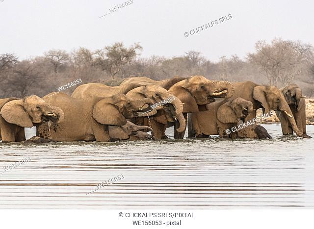 Herd of elephants drinking water. Etosha National Park, Oshikoto region, Namibia