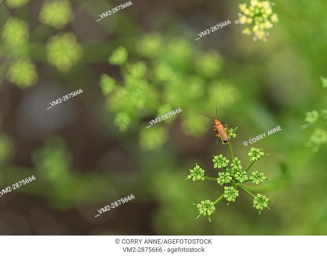 Red Soldier beetle on a dill plant. Fraser Valley, British Columbia, Canada