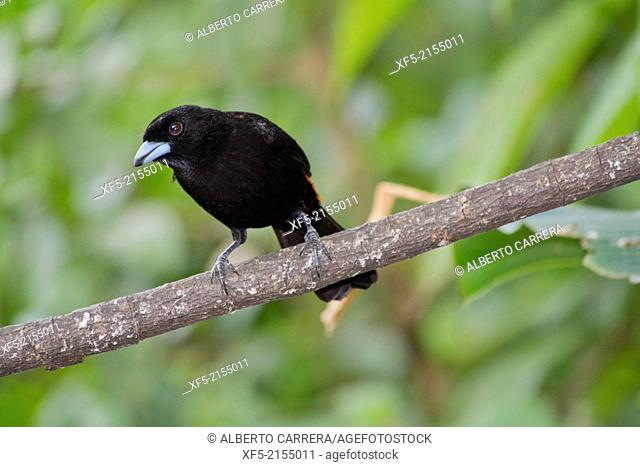 Cherrie's Tanager, Ramphocelus costaricensis, Tropical Rainforest, Costa Rica, Central America, America