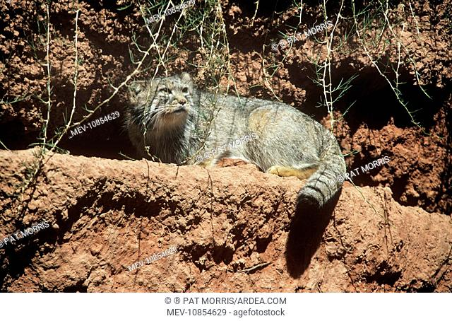 Pallas' Cat (Otocolobus manul). Central Asia & Tibet, high altitude species. Previously known as: Felis manul