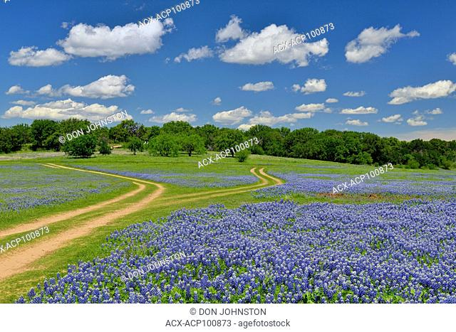 Flowering bluebonnets and park road, Turkey Bend LCRA, Marble Falls, Texas, USA