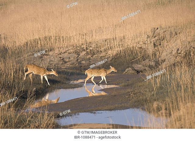 Chital deer, Spotted deer or Axis deer (Axis axis), female, Pench National Park, Madhya Pradesh, India