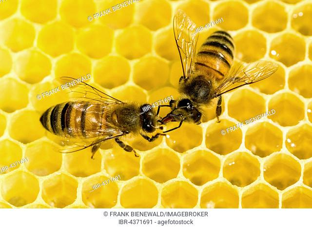 Two Carniolan honey bees (Apis mellifera carnica) on a honeycomb, Saxony, Germany