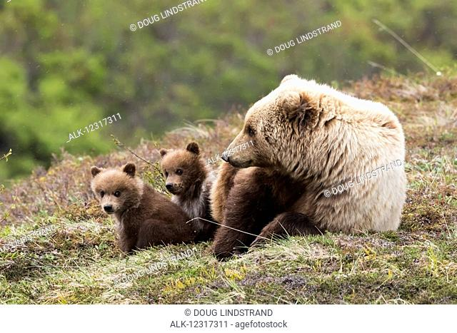 Grizzly bear cubs and mother relaxing and on the tundra in spring, Denali National Park, Interior Alaska, USA