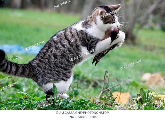 France,Young tabby-cat hunting and killing a great spotted woodpecker