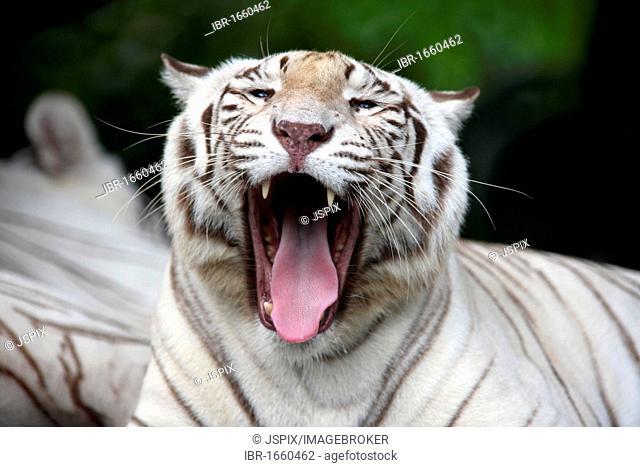 White Bengal Tiger (Panthera tigris tigris), portrait, adult yawning, India, Asia