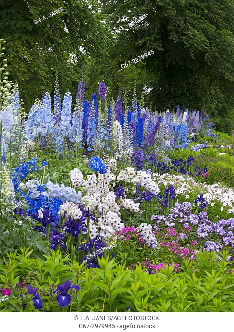 Delphiniums in English herbaceous border