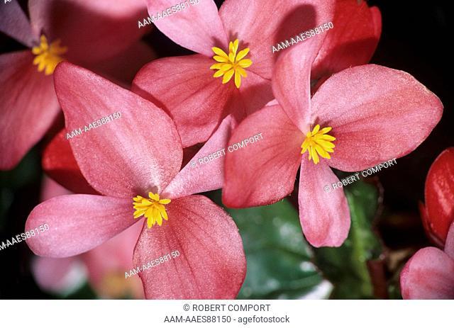 Begonia (Begoniaceae) San Diego
