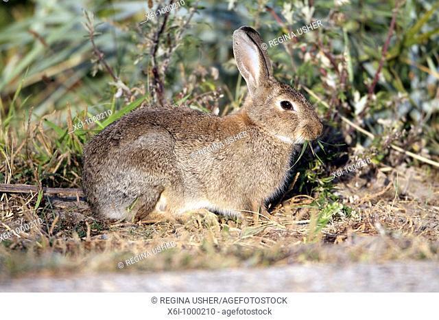 European Wild Rabbit Oryctolagus cuniculus, Texel Island, Holland