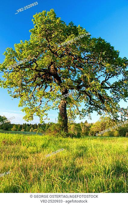 Oak, William Finley National Wildlife Refuge, Oregon