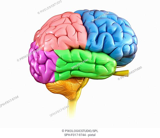 Illustration of human brain regions