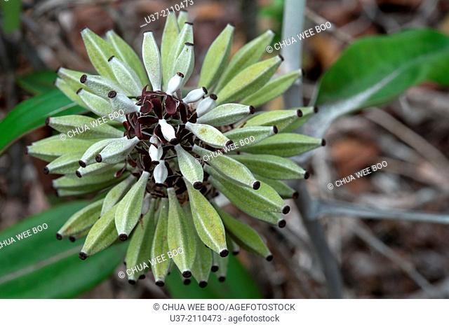 Nepenthes-Pitcher plants. Image taken at Kampung Pandan, Lundu, Sarawak, Malaysia