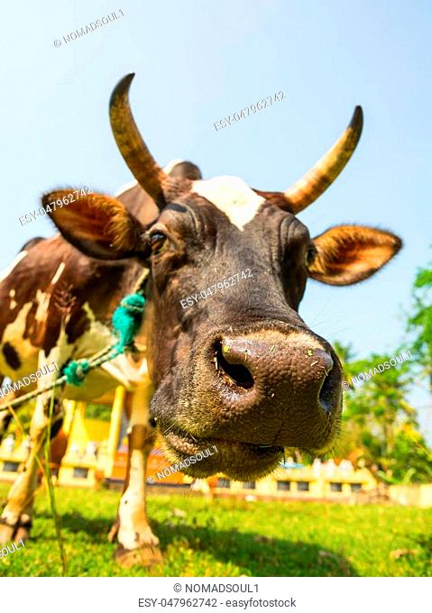 Cow funny face closeup, Ceylon. Sacred animal in bubbhism religion. Asia culture