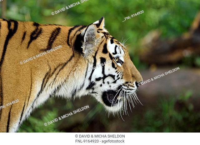 Siberian tiger, close-up