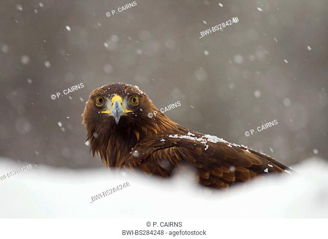 golden eagle (Aquila chrysaetos), at snowfall, United Kingdom, Scotland