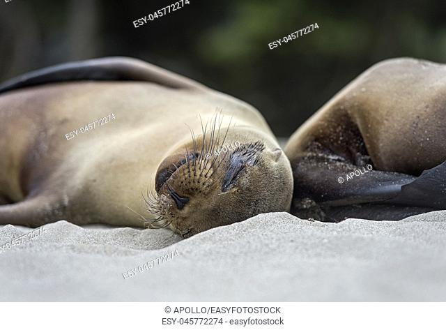 Sleeping Galapagos Sea Lions (Zalophus wollebaeki), Ear seals family (Otariidae), endemic to Galapagos, Isabela Island, Galapagos Islands, Ecuador
