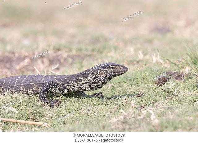 Africa, Southern Africa, Bostwana, Chobe i National Park, Chobe river, Nile Monitor (Varanus niloticus), in the grass