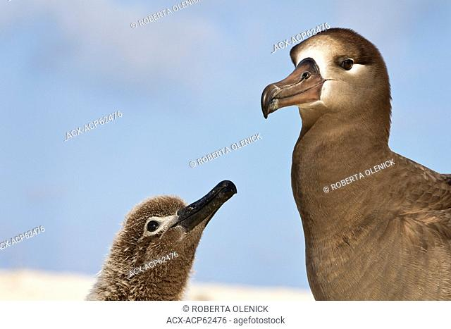 Black-footed albatross (Phoebastria nigripes),adult and chick, Sand Island, Midway Atoll National Wildlife Refuge, Northwest Hawaiian Islands