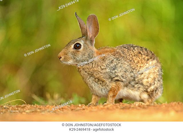 Desert Cottontail (Sylvilagus audobonii), Rio Grande City, Texas, USA
