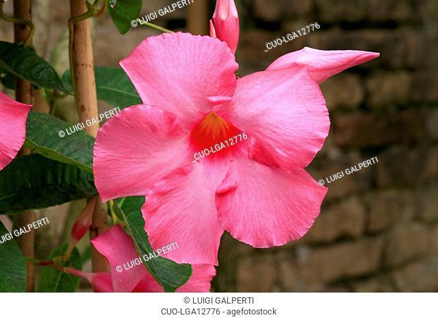 Mandevilla splendens, brasilian jasmine