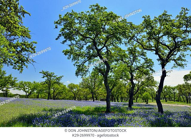 Bluebonnets and oaks on grounds of a rural residence, near Turkey Bend LCRA, Marble Falls, Texas, USA
