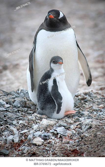 Gentoo Penguin (Pygoscelis papua) and young at nest, Hannah Point, Livingston Island, South Shetland Islands, Antarctica