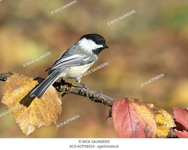 A Black-capped Chickadee, Poecile atricapillus, perched on branch in Autumn in Saskatoon, Saskatchewan