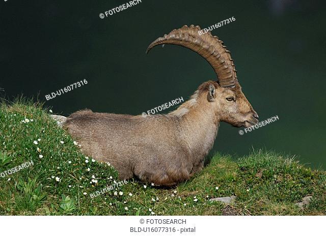 capra, Alps, bernese, berne, animal, cattle, alpenbewohner