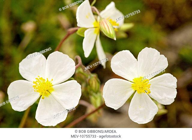 White Rock-rose - very rare on limestone in UK (Helianthemum apenninum)