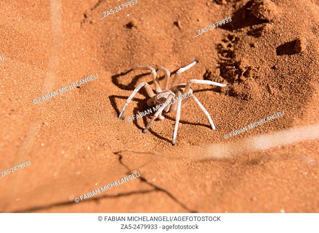 Dancing White Lady Spider (Leucorchestris arenicola) in the Nabib Desert, Namibia