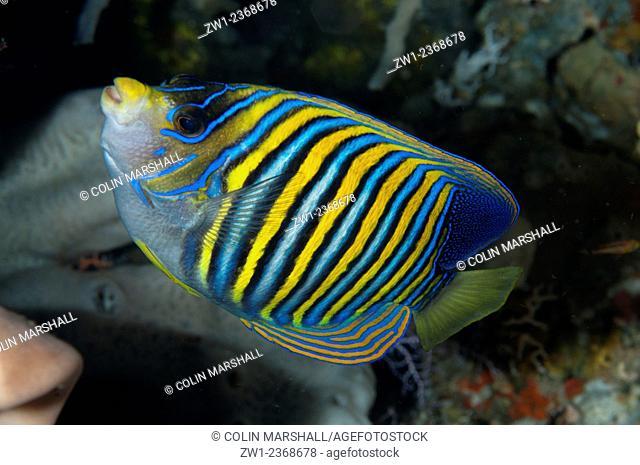 Regal Angelfish (Pygoplites diacanthus), Lekuan dive site, Manado, Sulawesi, Indonesia