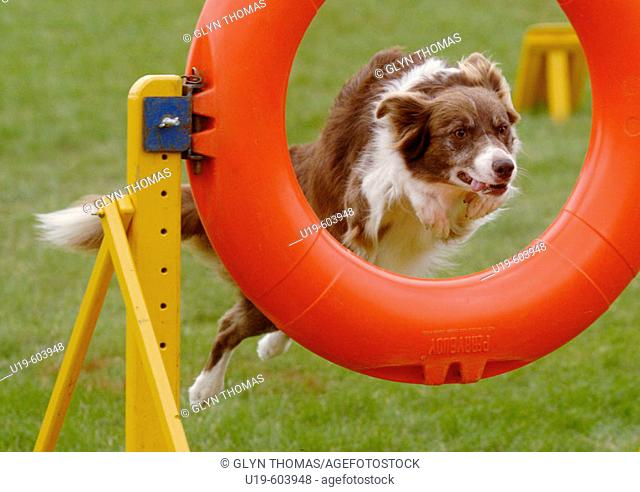 Dog jumping through a ring during an agility competition