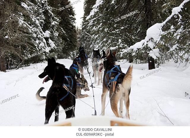 Huskies puling sled through snow, Fairbanks, Alaska