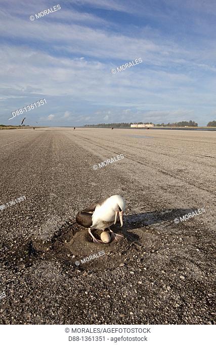 Hawaï , Midway , Sand Island , Laysan Albatross ,  Phoebastria immutabilis   Airfield