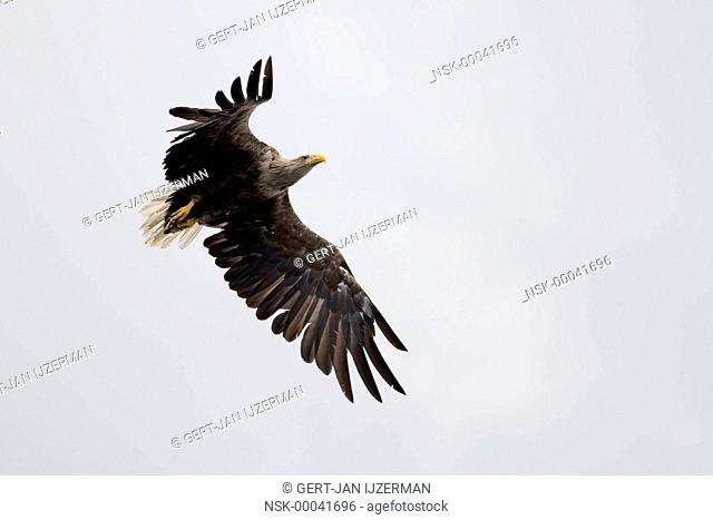 White-tailed Eagle (Haliaeetus albicilla) against white background, Poland, Stepnica, Oder